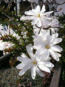 Stermagnolia (Magnolia stellata)