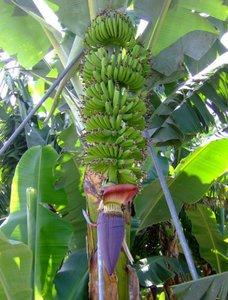 Plantagebanaan (Musa x paradisiaca)