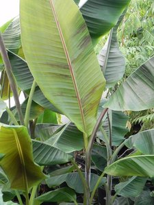 Helen's banaan (Musa sp. 'Helens Hybrid')