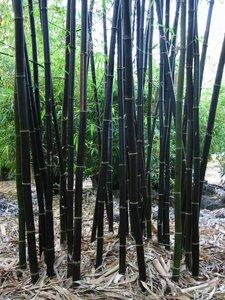 Timor zwarte bamboe (Bambusa lako)