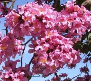 Roze ipé (Handroanthus impetiginosus)