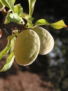 Amandelboom (Prunus dulcis var. dulcis)