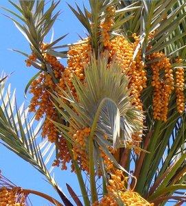 Dadelpalm (Phoenix dactylifera)