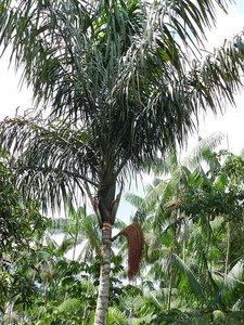 Patawa (Oenocarpus bataua)