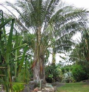 Boliviaanse bergkokosnoot (Parajubaea torallyi var. microcarpa)