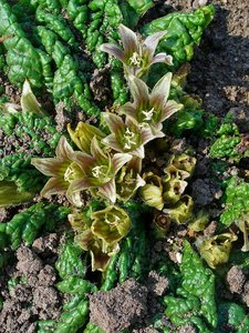 Alruin (Mandragora officinarum)