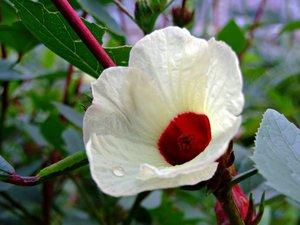 Roselle (Hibiscus sabdariffa)
