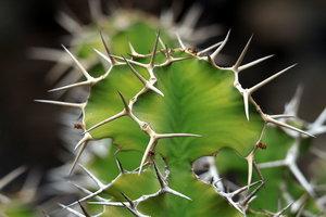 Koeienhoorn Euphorbia (Euphorbia grandicornis)