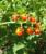 Wilde tomaat (Solanum pimpinellifolium)