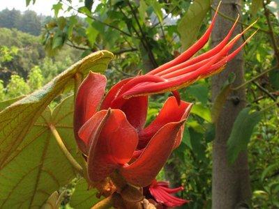 Apenhandboom (Chiranthodendron pentadactylon)