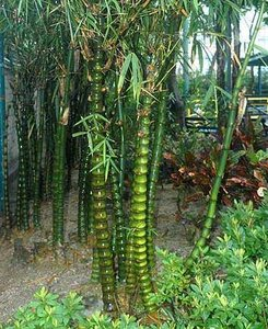 Boeddha's buik bamboe (Bambusa ventricosa)