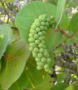 Zeedruif (Coccoloba uvifera)