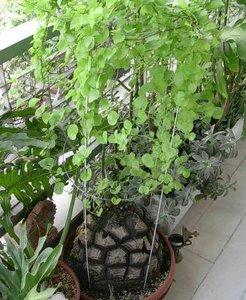 Schildpaddenschildplant (Dioscorea elephantipes)