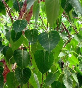 Bodhiboom (Ficus religiosa)
