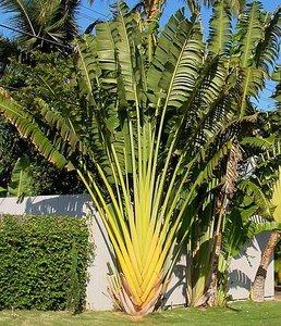 Reizigersboom (Ravenala madagascariensis)