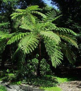 Australische boomvaren (Cyathea cooperi)