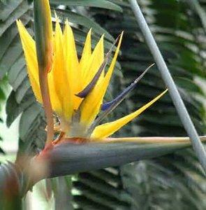 Gele paradijsvogelbloem (Strelitzia reginae 'Mandela's Gold')