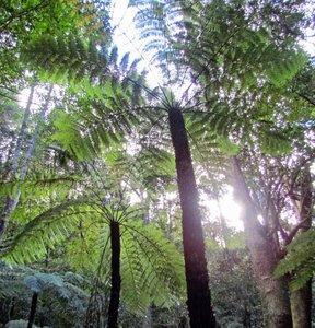 Boomvaren (Cyathea australis)