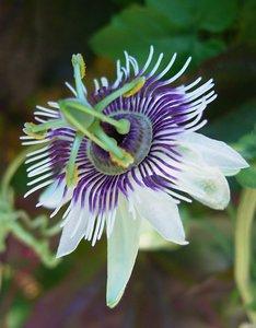 Bospassiebloem (Passiflora morifolia)