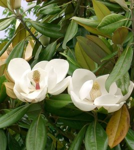 Zuidelijke magnolia (Magnolia grandiflora)