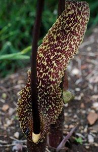 Voodoolelie (Typhonium venosum)