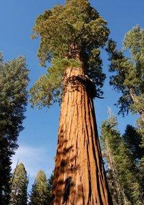Mammoetboom (Sequoiadendron giganteum)