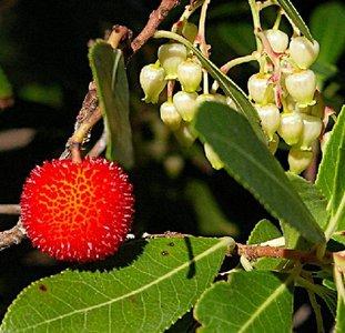 Aardbeiboom (Arbutus unedo)