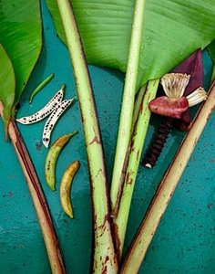 Bau banaan (Musa bauensis)