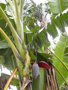 Thomson banaan (Musa thomsonii)
