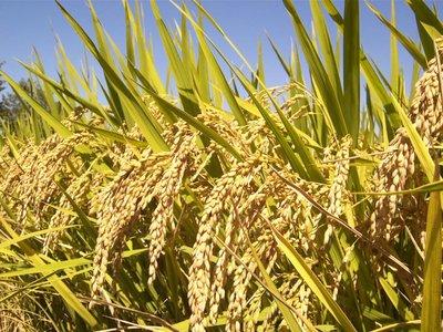 Rijst (Oryza sativa)