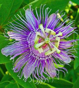 Maypop passiebloem (Passiflora incarnata)