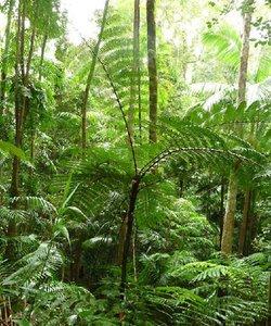 Zwarte boomvaren (Cyathea rebeccae)