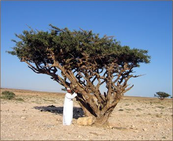 Wierookboom (Boswellia sacra)