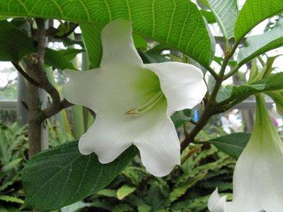Nepalese trompetbloem (Beaumontia grandiflora)