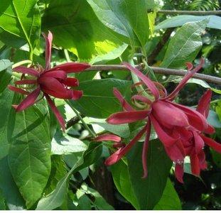 Specerijstruik (Calycanthus floridus)