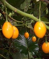 Gele boomtomaat (Cyphomandra betacea 'yellow')