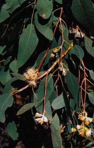 Morrisby's eucalyptus (Eucalyptus morrisbyi)