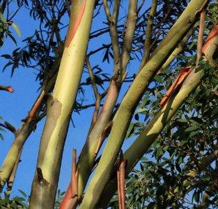 Sneeuweucalyptus (Eucalyptus pauciflora ssp. niphophila)