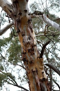 Kaarsschors-eucalyptus (Eucalyptus rubida)