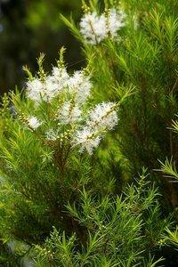 Theeboom (Melaleuca alternifolia)