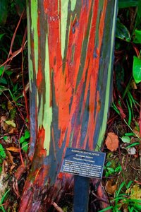 Regenboogeucalyptus (Eucalyptus deglupta)