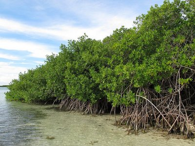 Rode mangrove (Rhizophora mangle)