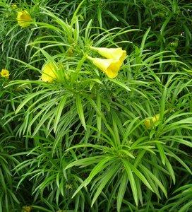 Gele oleander (Thevetia peruviana)