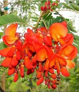 Rode sesbania (Sesbania tripetii)