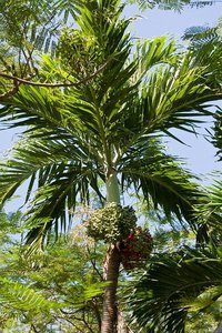 Manilla-palm (Veitchia merrillii)