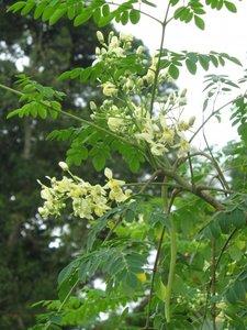Moringa (Moringa oleifera)