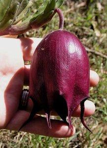 Aaskelk (Stapelia leendertziae)