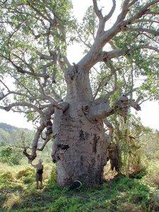 Australische baobab (Adansonia gregorii)