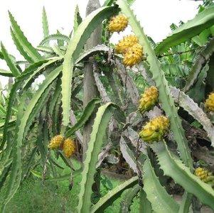 Gele pitahaya (Hylocereus megalanthus)
