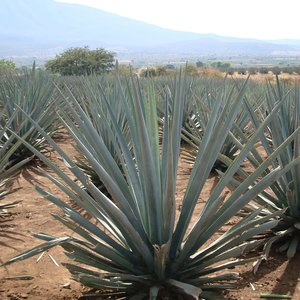 Tequila-agave (Agave tequilana)